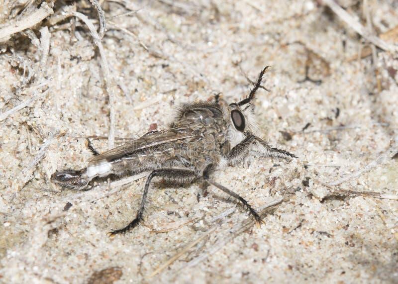 Rabuś komarnica Czeka w przyczajeniu na Piaskowatym siedlisku (Rodzinny Asilidae) zdjęcie royalty free