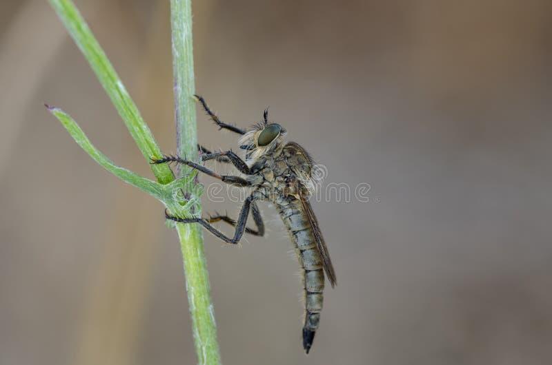 Rabuś komarnicy obsiadanie na przegiętym obrazy stock