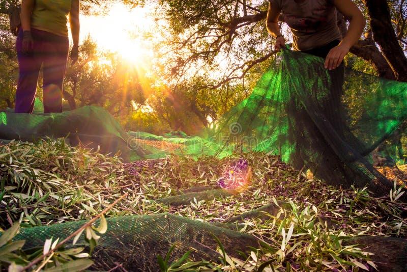 Raccogliendo le olive fresche sulle reti verdi dagli agricoltori della donna in di olivo sistemano in Creta, Grecia immagini stock