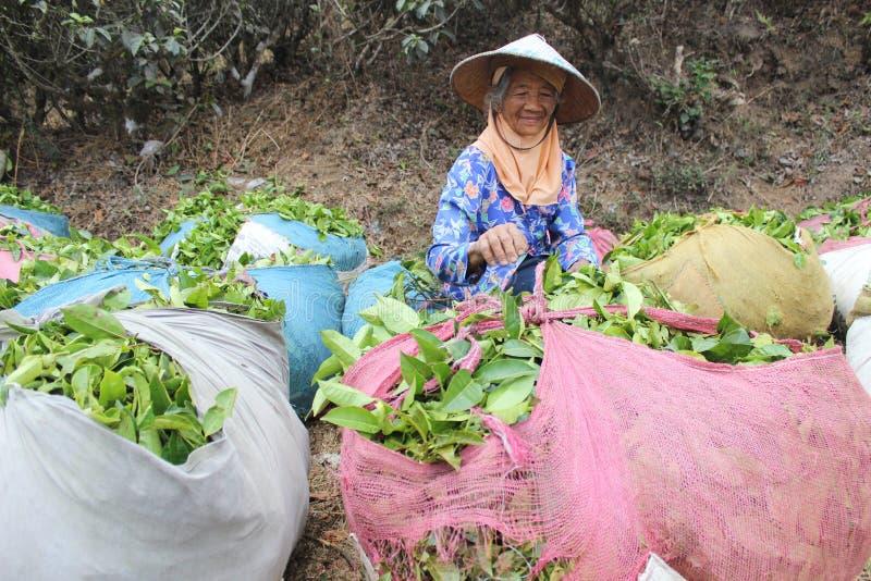 Raccoglitrici del tè della piantagione di tè di Ngargoyoso immagini stock libere da diritti