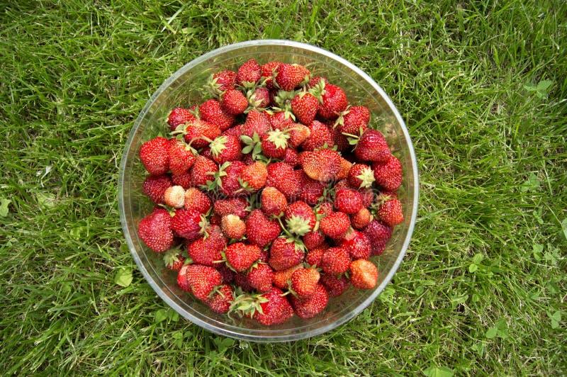 Raccolga le fragole mature e deliziose, in una tazza fotografia stock