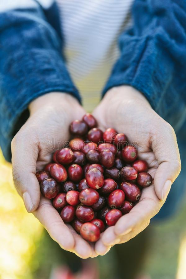 Raccolga a mano le bacche di caffè Arabica rosse mature in mani nel villaggio di Akha di Maejantai sulla collina in Chiang Mai, T immagini stock