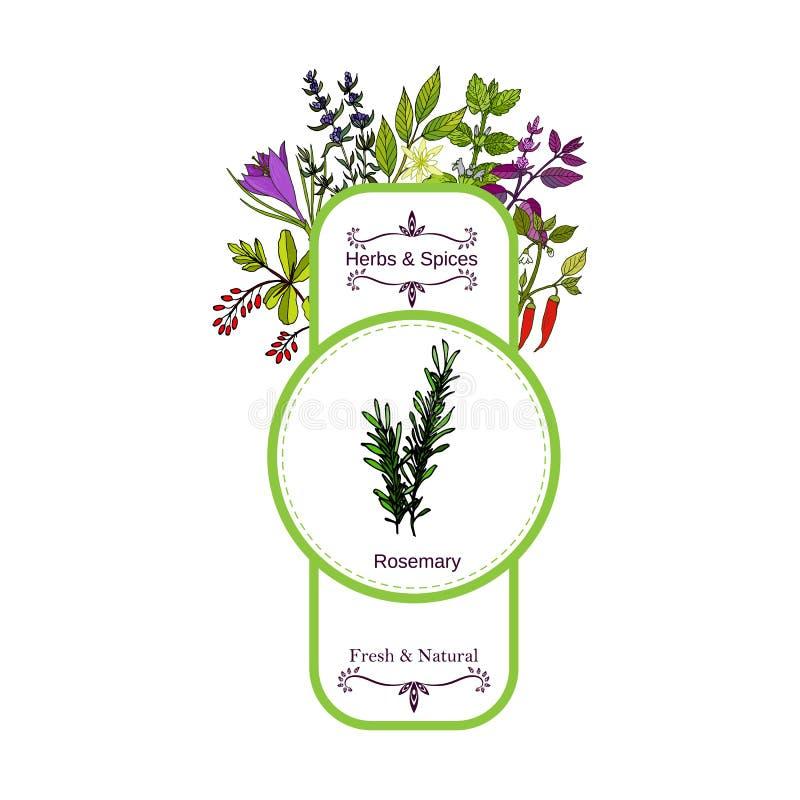 Raccolta d'annata dell'etichetta delle spezie e delle erbe rosmarino illustrazione vettoriale