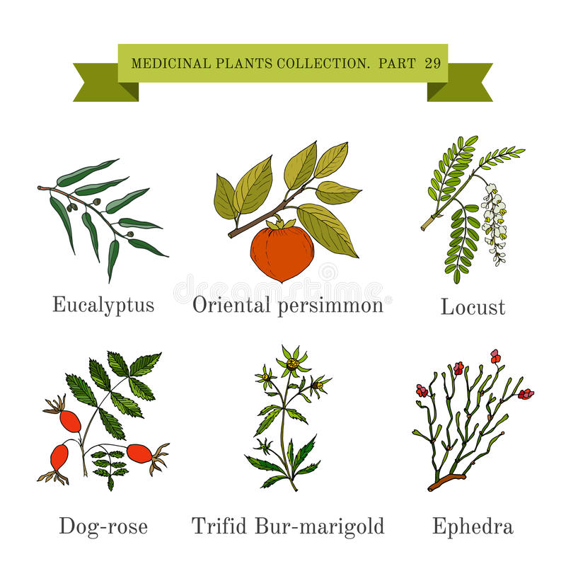 Raccolta d'annata delle erbe e delle piante mediche disegnate a mano, eucalyptus, cachi, locusta, rosa canina, ufficio-tagete tri illustrazione di stock