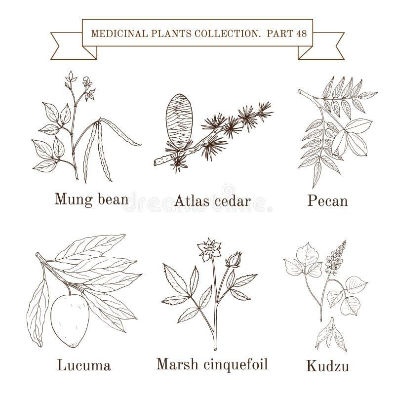 Raccolta d'annata delle erbe e delle piante medicinali disegnate a mano illustrazione di stock