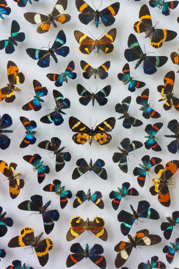 Raccolta degli insetti della farfalla su esposizione immagini stock libere da diritti