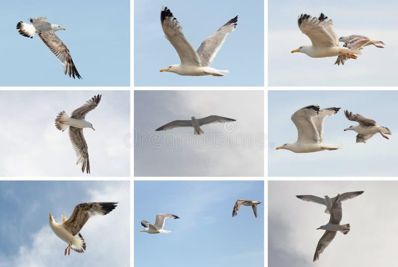 Raccolta degli uccelli del gabbiano di volo sul fondo del cielo blu Temi della spiaggia di estate immagine stock libera da diritti