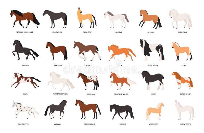 Raccolta dei cavalli di varie razze isolate su fondo bianco Pacco degli animali equini domestici splendidi di illustrazione di stock