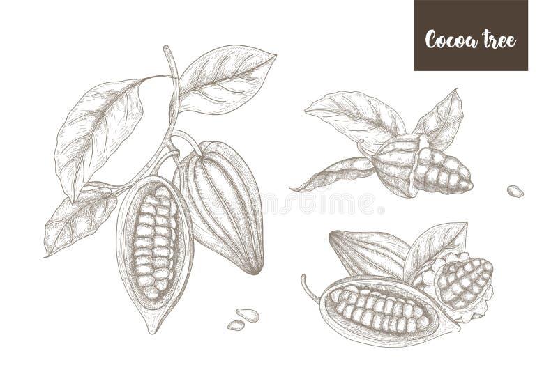 Raccolta dei disegni botanici di interi e baccelli maturi spaccati o frutti della pianta di cacao, dei rami e delle foglie disegn royalty illustrazione gratis