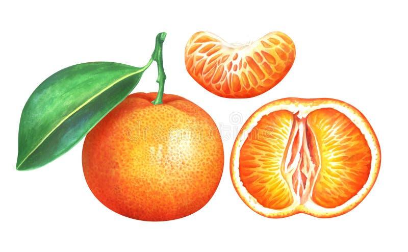 Raccolta dei mandarini maturi dell'acquerello isolati su fondo bianco royalty illustrazione gratis