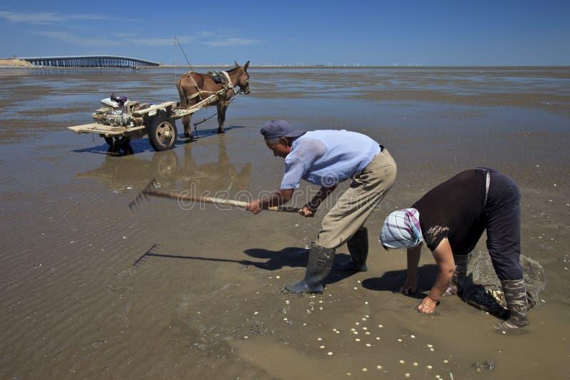 Raccolta dei molluschi fotografie stock