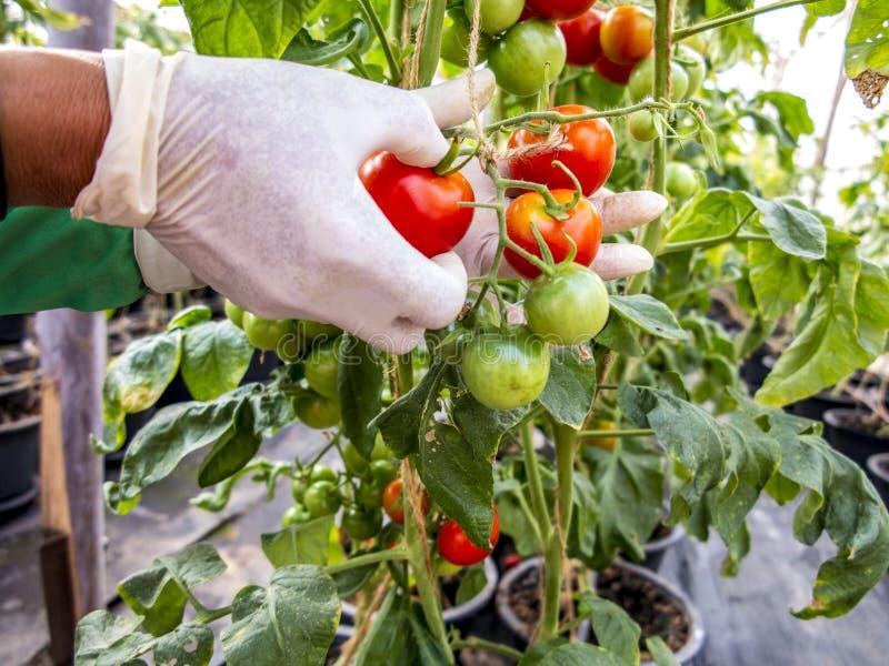 Raccolta dei pomodori immagini stock libere da diritti