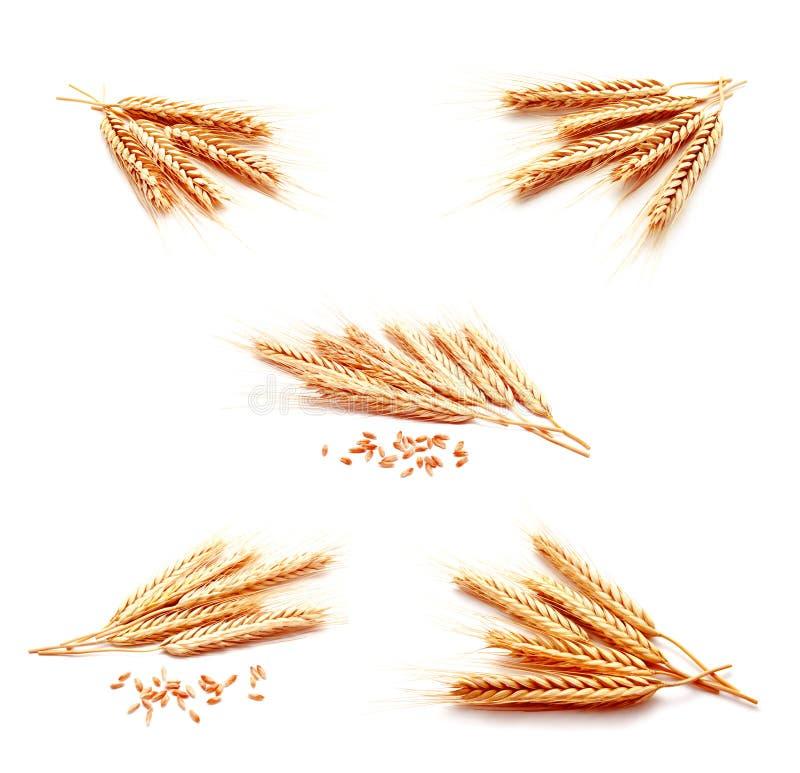Raccolta del cereale delle orecchie del grano delle foto isolato su un backgro bianco immagine stock
