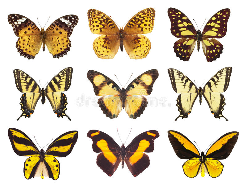 Raccolta del lepidottero della farfalla isolata su bianco fotografia stock libera da diritti