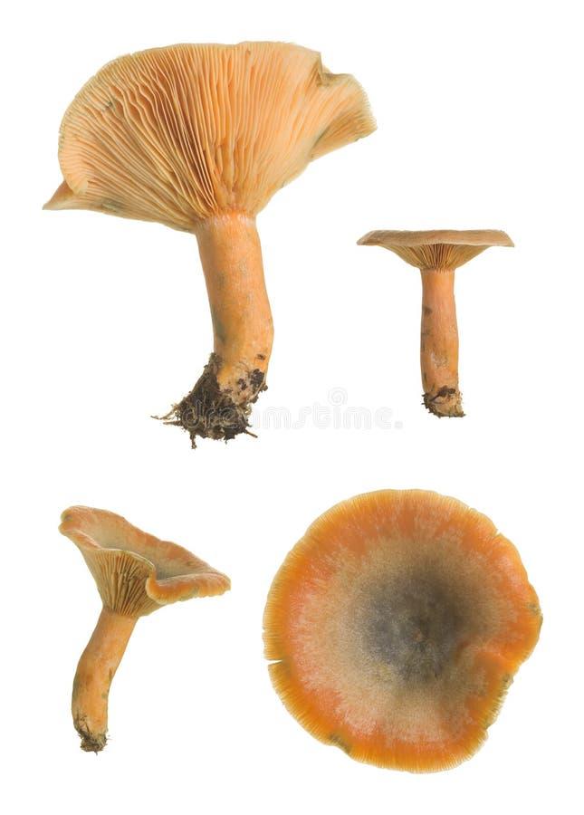 Raccolta del milkcap dello zafferano falso, deterrimus del Lactarius immagine stock