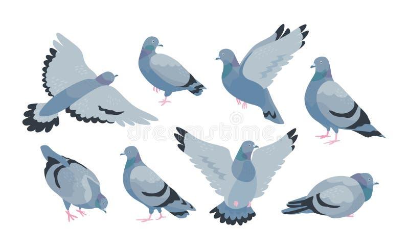 Raccolta del piccione selvaggio grigio in varie pose - sedendosi, volando, camminando, mangiante Uccello dello synanthrope o dell illustrazione di stock