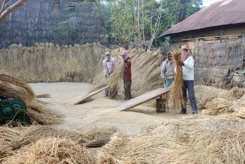 Raccolta del riso fotografia stock