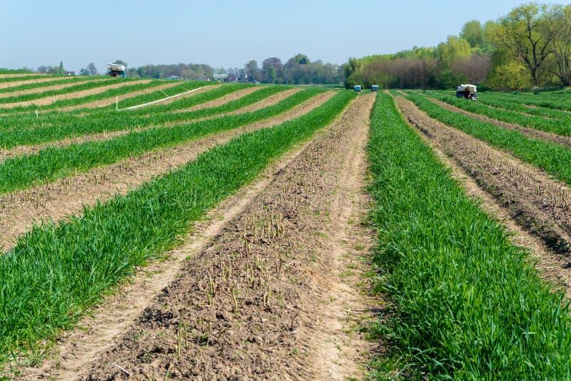 Raccolta dell'asparago verde sul campo con le file delle verdure organiche mature dell'asparago fotografia stock