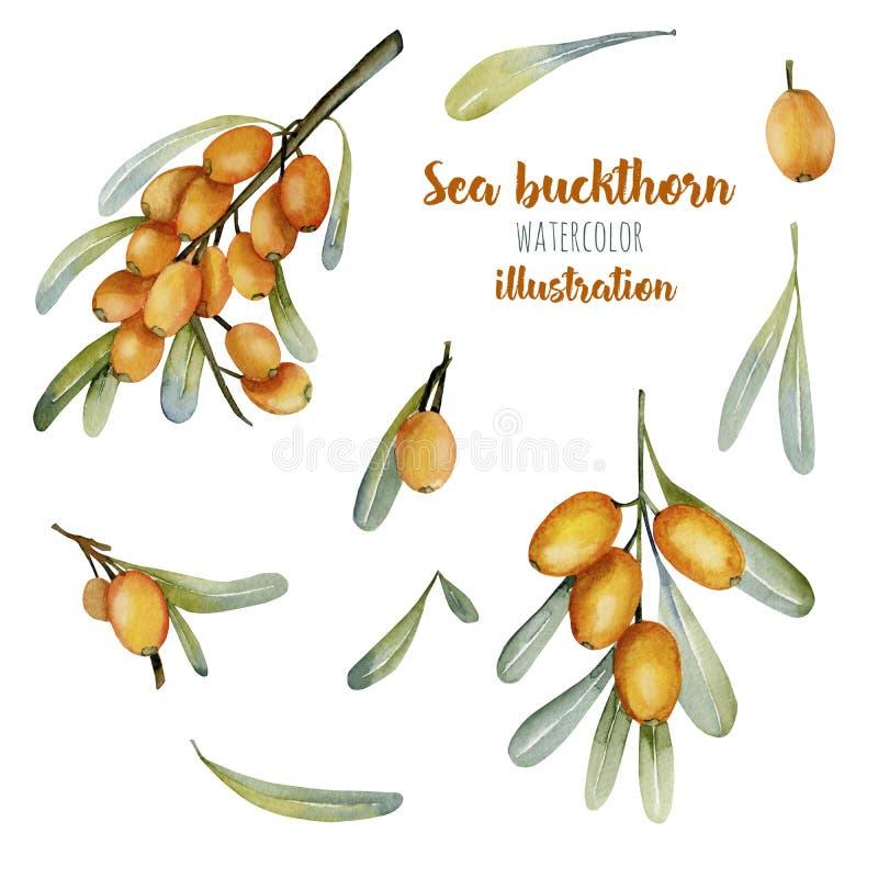 Raccolta dell'illustrazione delle bacche dell'olivello spinoso dell'acquerello illustrazione vettoriale
