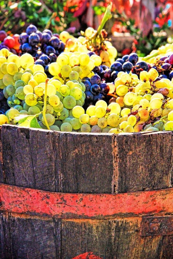 Raccolta dell'uva fotografia stock libera da diritti