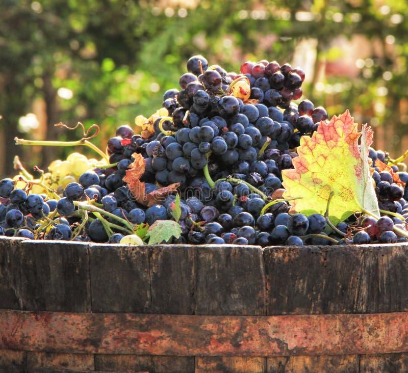 Raccolta dell'uva immagini stock