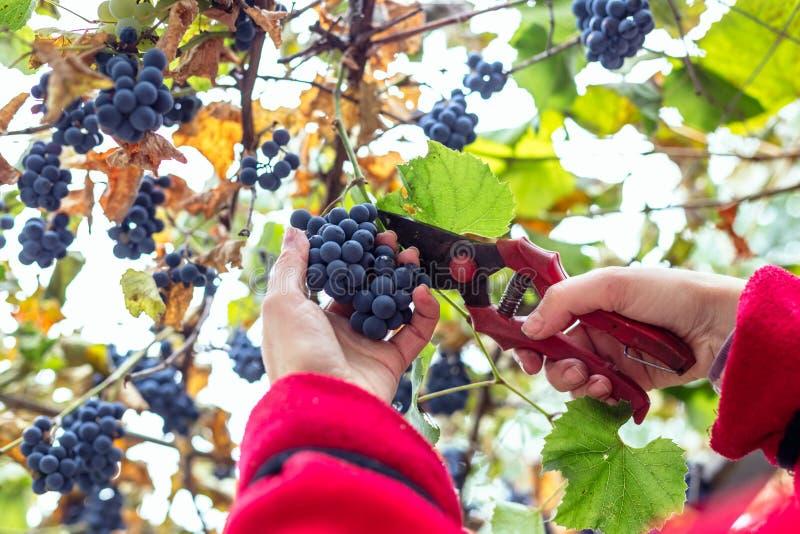 Raccolta dell'uva nella vigna immagini stock libere da diritti