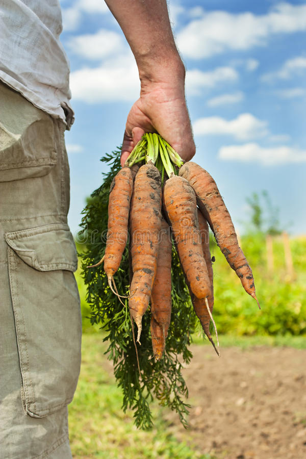 Raccolta della carota immagine stock