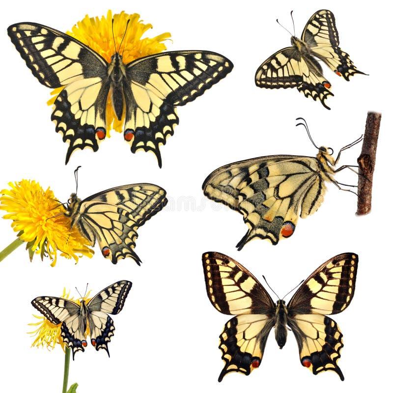 Raccolta delle farfalle di coda di rondine (machaon di Papilio) illustrazione vettoriale