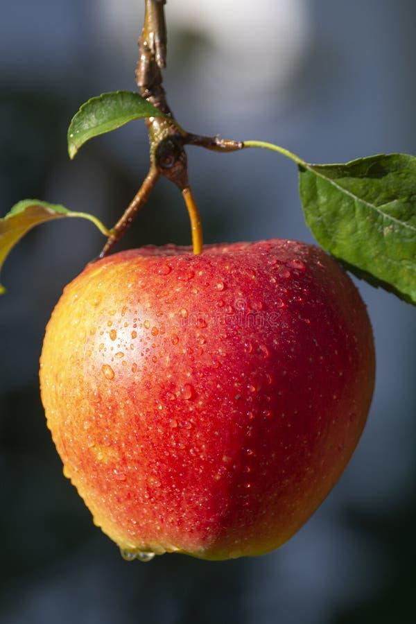 Raccolta delle mele in giardino, stagione del raccolto di autunno nei frutteti di frutta fotografia stock