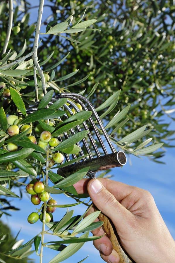 Raccolta delle olive fotografie stock