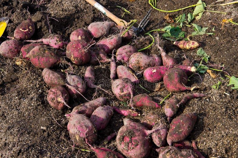 Raccolta delle patate dolci immagini stock libere da diritti