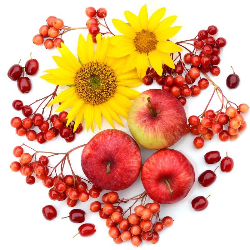 Raccolta di autunno Composizione dei frutti, delle bacche e dei fiori su un fondo bianco Mele, viburno, girasoli, corniolo l pian fotografia stock