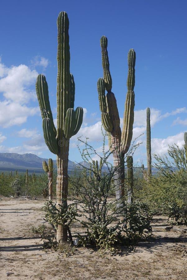 Raccolta di grande cactus del saguaro nel Messico fotografia stock libera da diritti