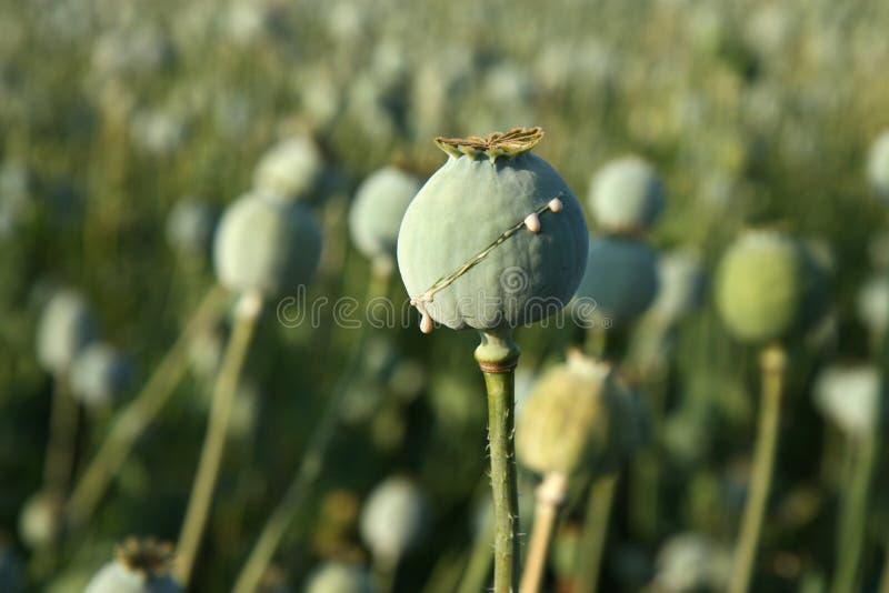 Raccolta di oppio dal papavero fotografie stock