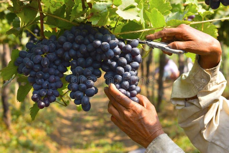 Raccolta di uva vicino a Sangli, maharashtra fotografia stock libera da diritti