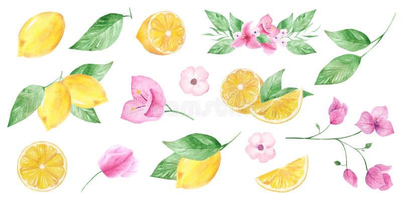 Raccolta dipinta a mano dell'acquerello del limone e del fiore può essere usato per la stampa e la decorazione illustrazione vettoriale