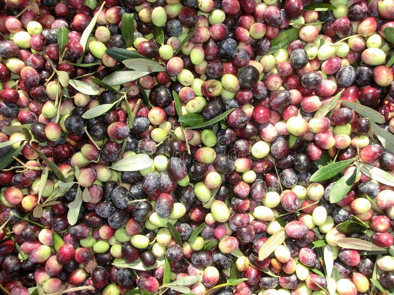 Raccolta verde oliva immagine stock libera da diritti