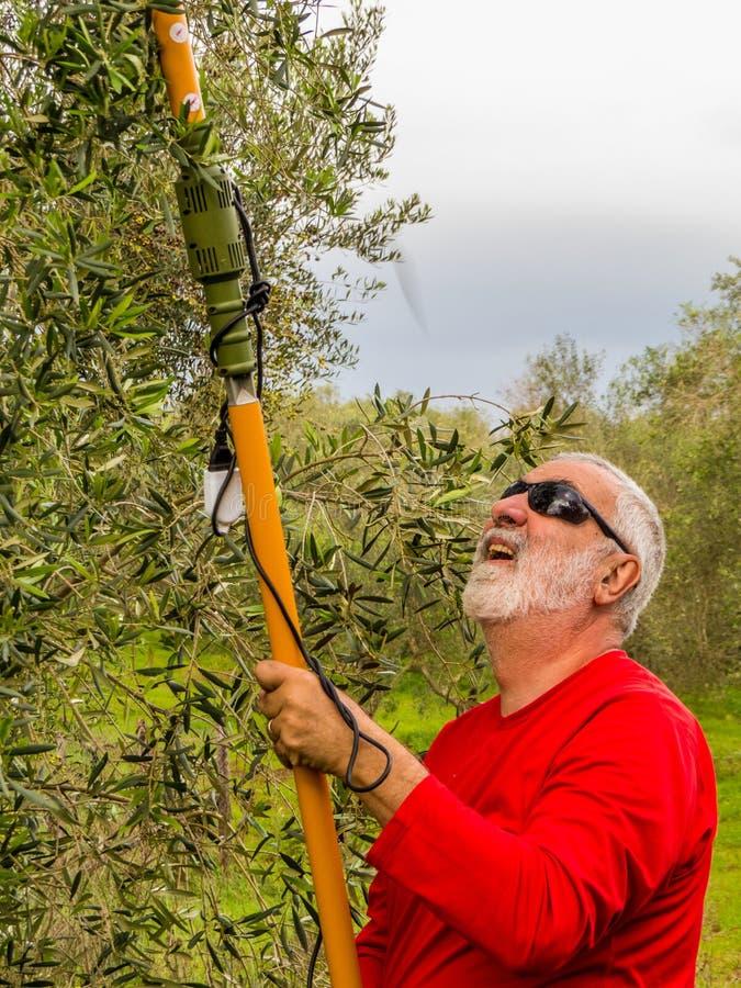 Raccolta verde oliva fotografie stock