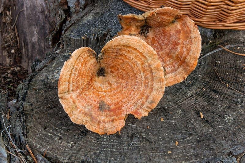 Raccolto all'autunno che stupisce il lattario commestibile dello zafferano dei funghi conosciuto come il lattario arancio  fotografia stock libera da diritti