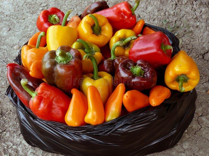 Raccolto dei peperoni immagine stock