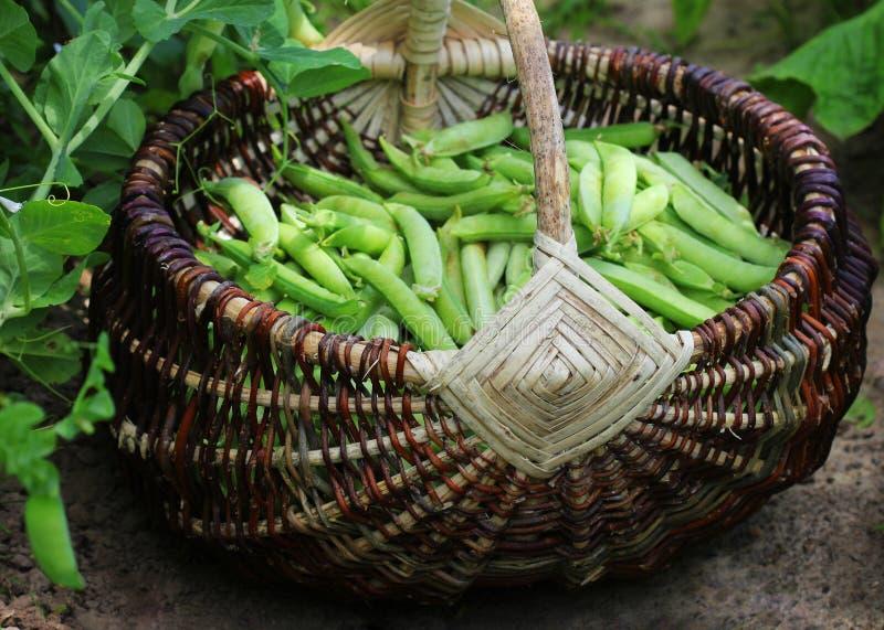 Raccolto dei piselli freschi verdi che selezionano merce nel carrello Baccelli del pisello sul campo agricolo Fondo di giardinagg fotografia stock