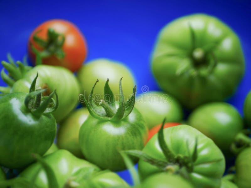 Raccolto dei pomodori fotografia stock
