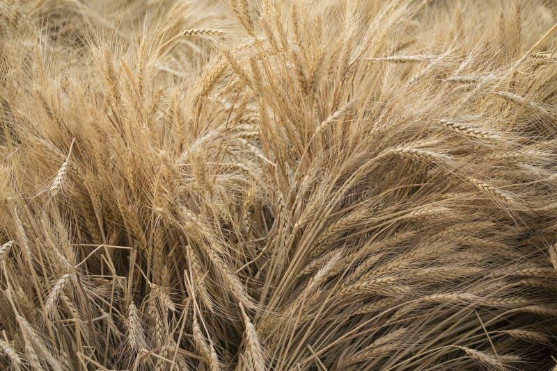 raccolto del cereale immagini stock libere da diritti