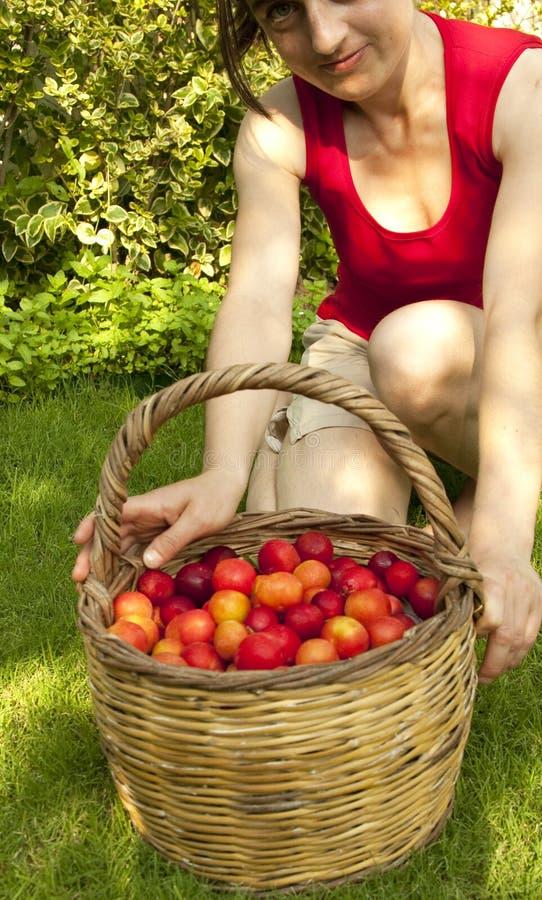 Raccolto della frutta immagini stock