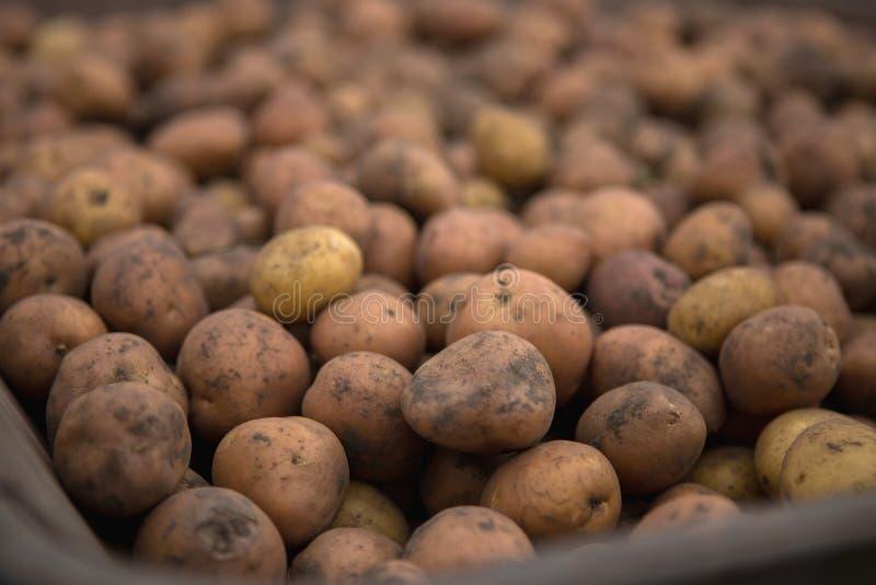 Raccolto della patata della riunione in carretto rurale del carrello del metallo su organico immagini stock