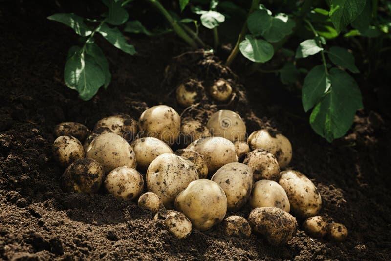 Raccolto delle patate crude fresche sulla terra Prodotti di agricoltura biologica fotografie stock