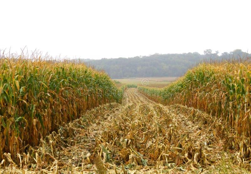 Raccolto di cereale piovoso fotografia stock