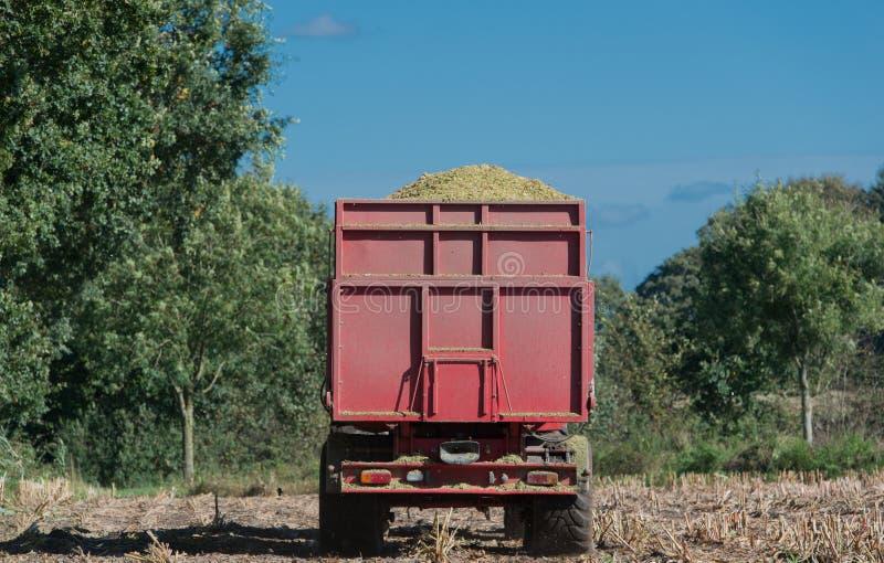 Raccolto di cereale, raccoglitrice di foraggio del cereale nell'azione, camion del raccolto con il trattore immagini stock