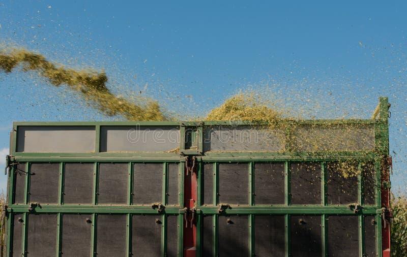 Raccolto di cereale, raccoglitrice di foraggio del cereale nell'azione, camion del raccolto con il trattore fotografia stock