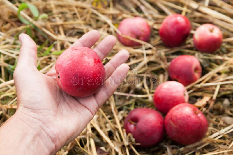 Raccolto di frutti della natura di autunno in frutteto, mele di verdura fresca fotografia stock